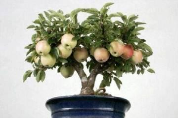 调节均衡苹果盆景多花多果采用方法