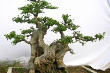 制作榆树盆景 采挖很重要 做好2点保证存活率