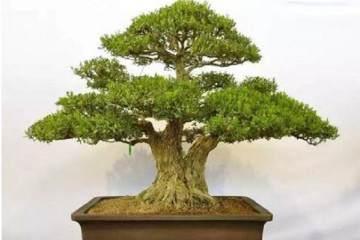 黄杨是制作附石盆景最好的树种
