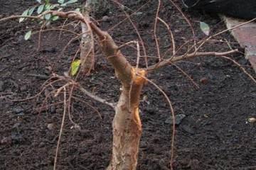 图解 小叶榆树盆景的10年养成全记录 8幅