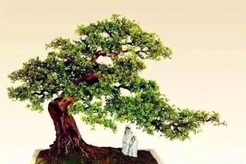 雀梅盆景有的叶子干枯了怎么回事 如何救治?