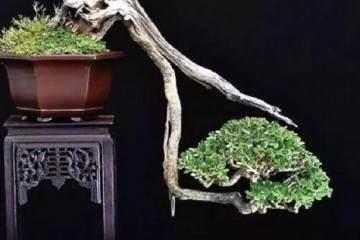 盆景剪枝4大技巧 学会它 可成大师