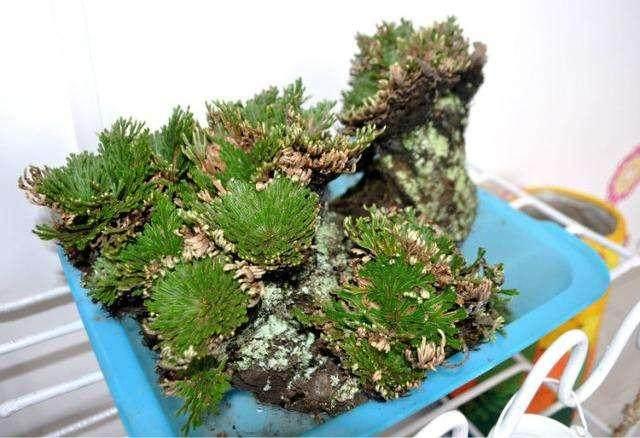 卷柏盆景的看起来是枯死的 其实植株是正常生长的