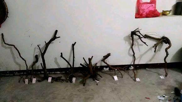 江苏雀梅下山桩的栽培方法