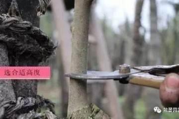 图解 嫁接金弹子盆景的3个方法
