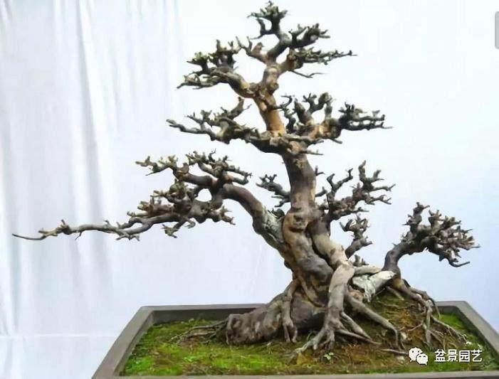 如何栽培榆树下山桩和养桩?