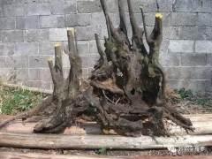 下山桩怎么促根 下山桩促根的2个方法 图片