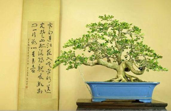 珍珠黄杨下山桩的驯化栽培经验浅谈