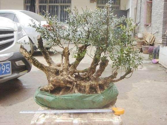 如何给黄杨下山桩浇定根水?