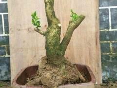 黄杨下山桩的土壤配置方法 图片