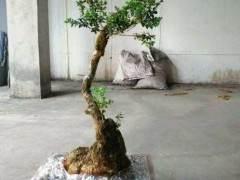 栽种黄杨下山桩 为何不要用生根水或激素 图片
