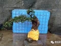 栒子下山桩怎么种才能活 养护的方法 图片