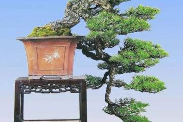 1985年在上海虹口公园举办的全国盆景评比展