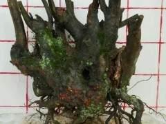 下山桩什么时间采掘移栽最为适宜发根 图片