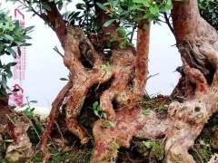 怎么解决赤楠下山桩成活率低的问题 发根方法