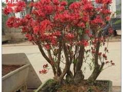 怎么处理映山红下山桩的根部及枝叶 图片