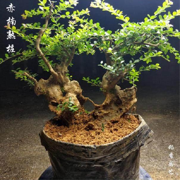 下山桩的生根剂合理使用以及催芽方法