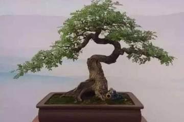 清香木盆景繁殖多用播种法 出苗率高