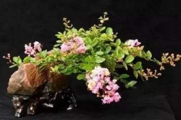 紫薇老盆景怎样养护及制作方法 图片