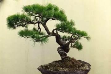 什么是盆景树桩盆?
