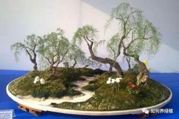 垂柳式柽柳盆景怎么制作的3个方法