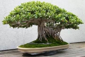 盆景的根部生长 会受到这3个方面限制