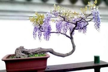 怎么制作紫藤盆景?上盆与浇水