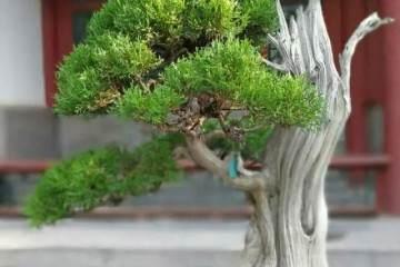 柏树盆景的修剪造型