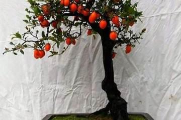 金弹子盆景可以与柿子树嫁接吗 需要注意什么?