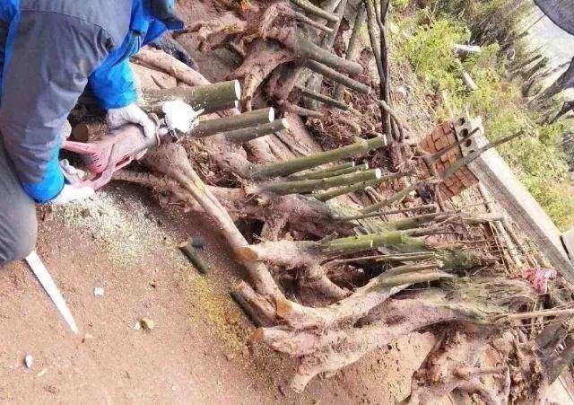 七哥挖到精品丛林金弹子下山桩 给5万都不卖!