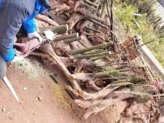 七哥挖到精品丛林金弹子下山桩 价格5万都不卖!
