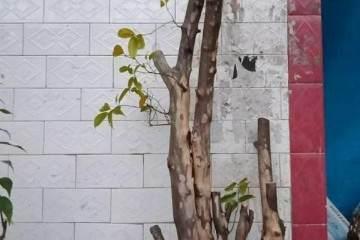 对金弹子盆景枝条的发芽设计图 图片