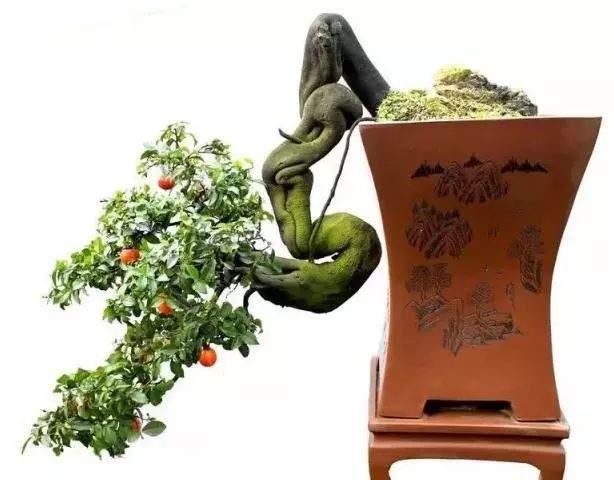 金弹子盆景一般采用播种、扦插进行繁殖
