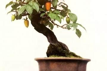 老鸦柿与金弹子盆景近似 二者的区别是什么