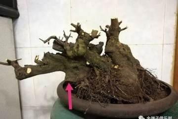 图解 卧干临水金弹子盆景怎么洗根修根换盆