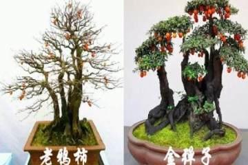 老鸦柿盆景和金弹子盆景的有什么区别?