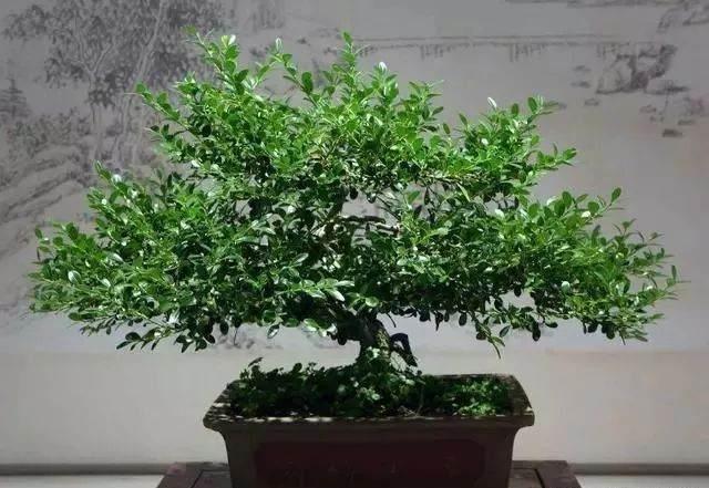 黄杨盆景的花盆、土壤和上盆