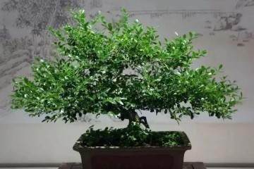 黄杨盆景的花盆怎么发芽 土壤和上盆