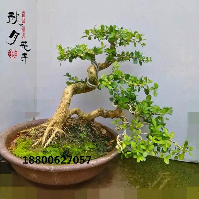 黄杨盆景的修剪与造型设计