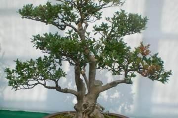 黄杨老桩盆景怎样修剪与造型设计