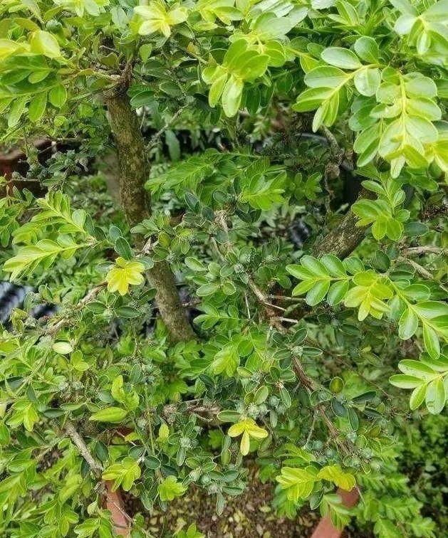 栽了5年的黄杨下山桩 现在长出这种果子