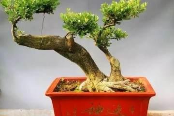 制作瓜子黄杨盆景 扎堆生长枝干坚硬
