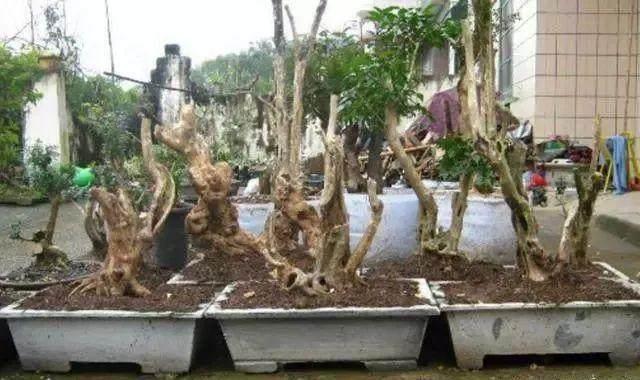 农村大婶种植黄杨下山桩 一年收入5万元