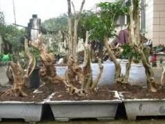 农村大婶种植黄杨下山桩 一年收入5万元 图片