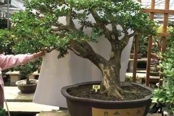 黄杨盆景在冬季 不要施肥 否则会死