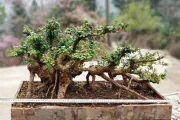要清洗黄杨盆景主干 不长寄生虫 给人干净