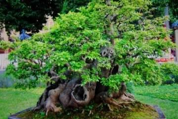百年榔榆树桩制成盆景