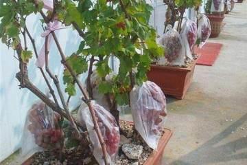 新疆兵团退休老人制作的精美葡萄盆景