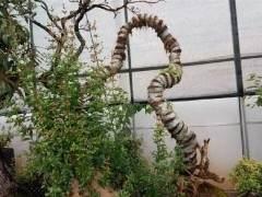 一棵黄杨下山桩栽了3年半 买主 开口价格5万