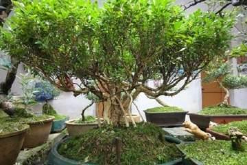 小黄杨盆景在冬天的3个养护注意事项